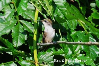 hummingbird perched in trumpet vine