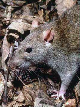 http://en.wikipedia.org/wiki/Rat#mediaviewer/File:Rattus_norvegicus_1.jpg