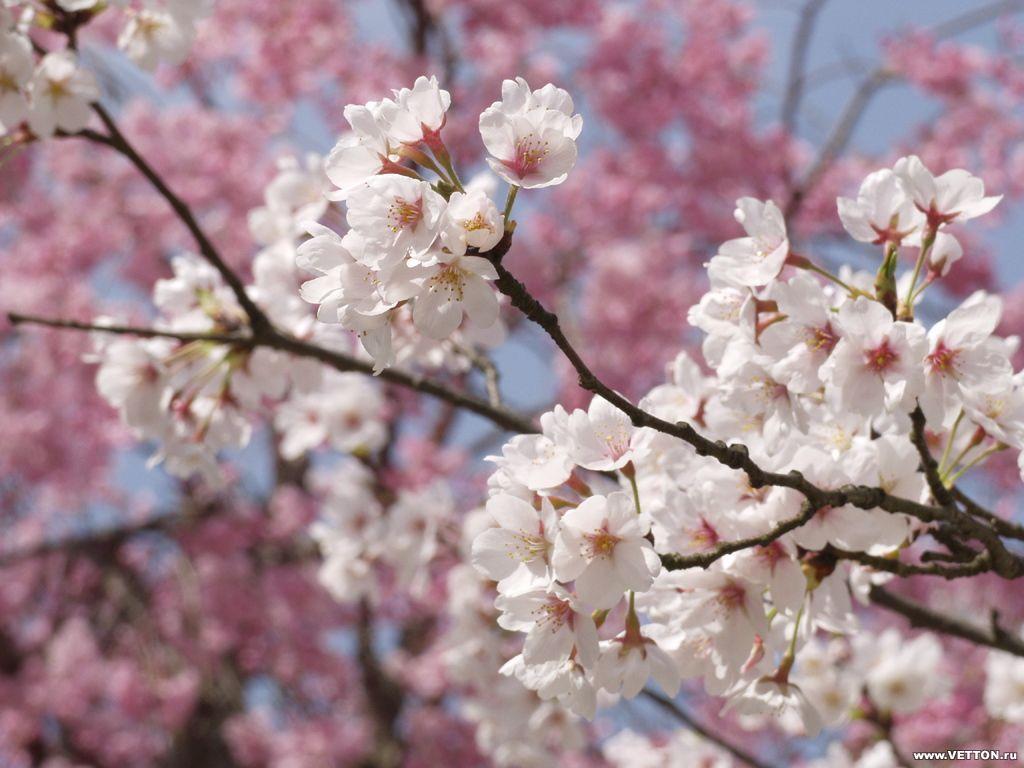 Wallpapernarium bellas ramas de arboles llenas de flores - Arbol de rosas ...