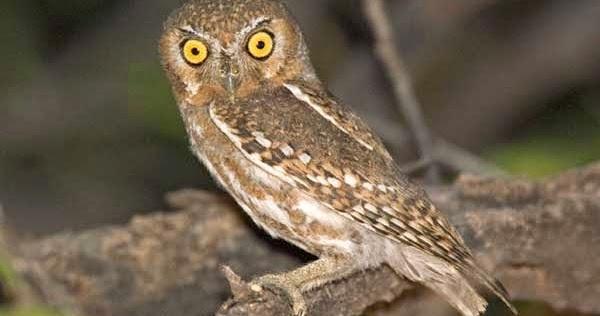 elf owl si burung hantu kecil penghuni kaktus