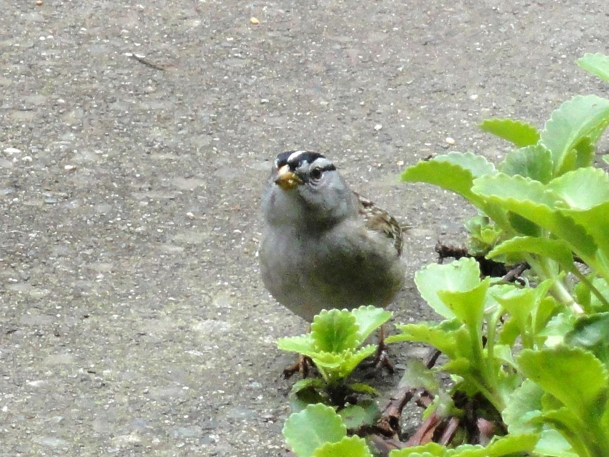 http://2.bp.blogspot.com/-VdfXo9WIAes/TalUQ-f-k_I/AAAAAAAAUKE/XKeT31DYxQc/s1600/whitecrowned+sparrow.JPG