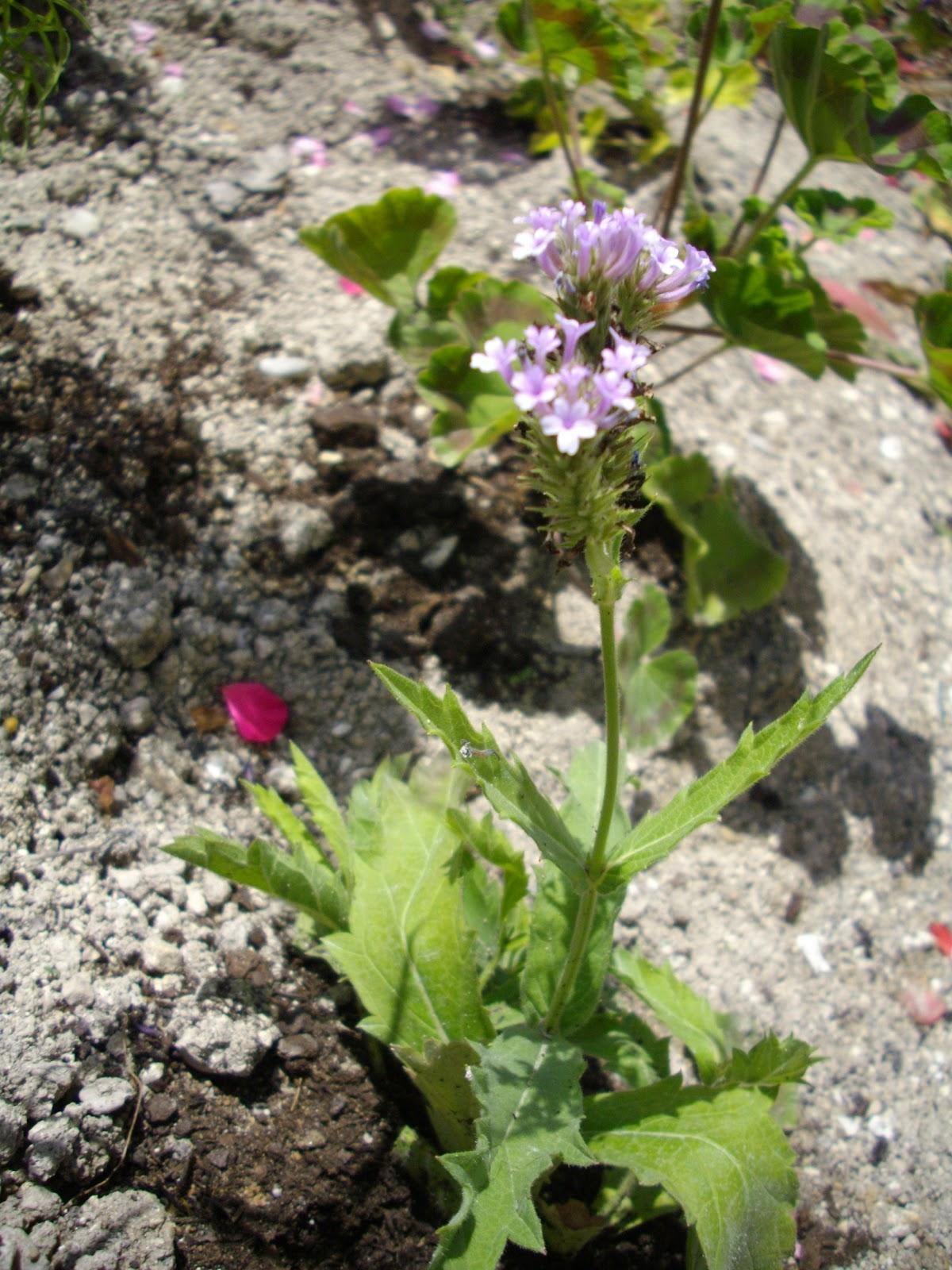 jardin partagé de bernon: saison 2011 - nos plantations