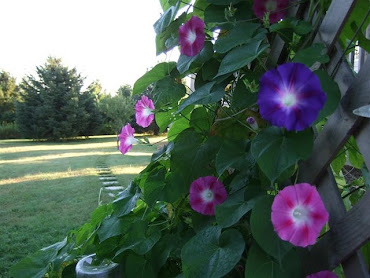 My Morning Glories --- My Outside Quilt