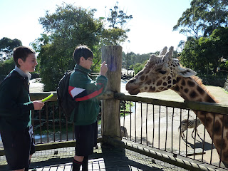 Close Encounter with the giraffe at Auckland Zoo