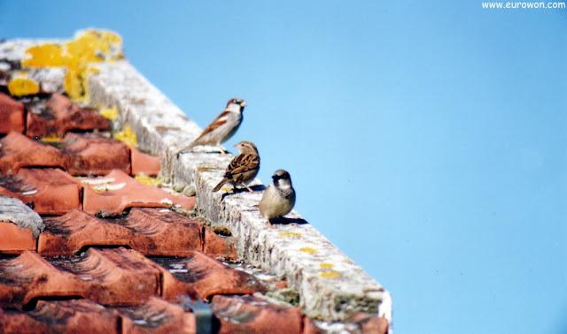 Tres pardales en el tejado