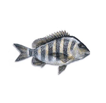 Outdoor notes sheepshead good table fare for Sheepshead fish eating