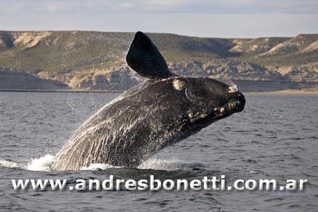 Ballena Franca Austral - Southern Right Whale - Península Valdés - Patagonia - Andrés Bonetti