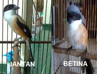 Ciri-Ciri Burung Cendet Jantan Dan Betina Terlengkap