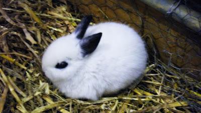 Mamíferos: coelho