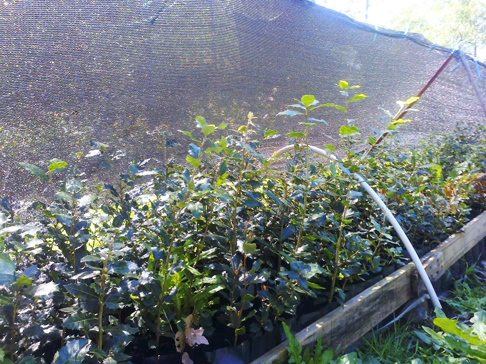 Montenativo producci n de plantas forestales y frutales for Plantas forestales