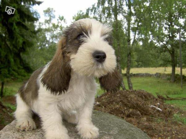 Petit basset griffon vendeen fun animals wiki videos pictures stories - Petit basset hound angers ...
