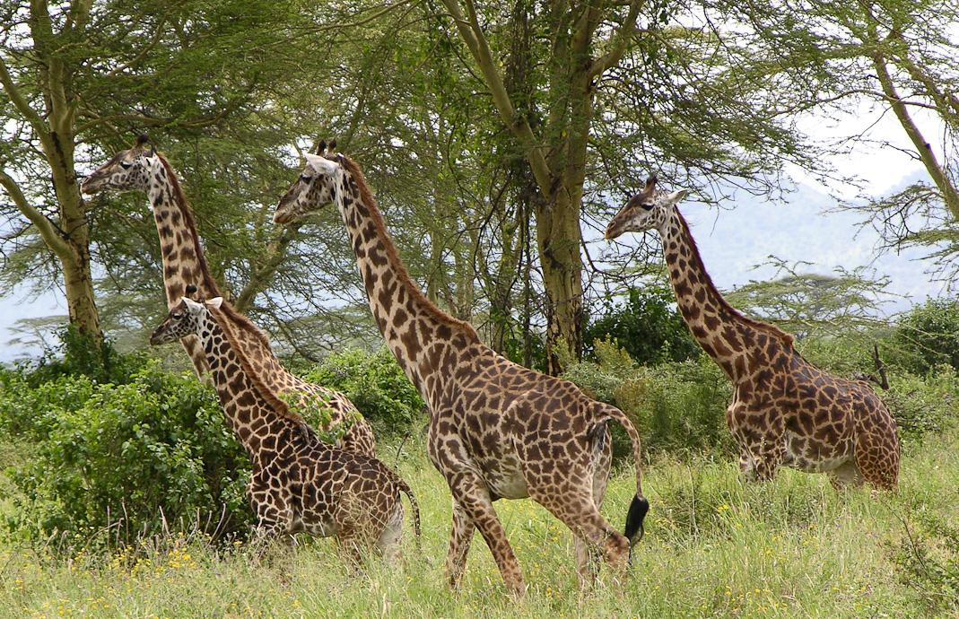 Giraffen Familie in Afrika