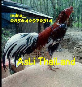 ayam bangkok asli thailand importir....