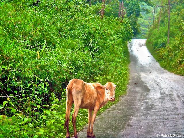 Vache en Thailande