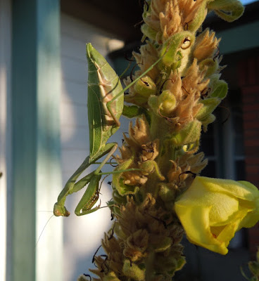 Praying Mantis on Mullein at the End of October, ©B. Radisavljevic