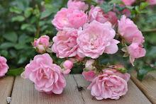 gode kjerringråd for lus på roser finner du her