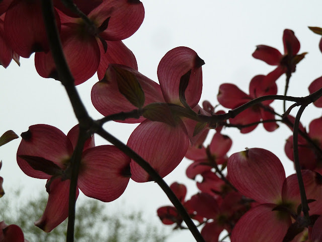 Pink Dogwood flowers in Brooklyn