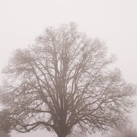 oak tree in the fog photo copyright Jennifer Kistler 2011