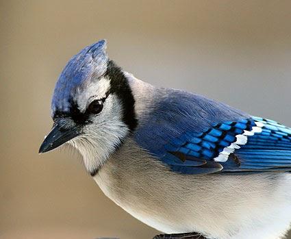 Wwc Bird Crew Blog Bird Profile Blue Jay