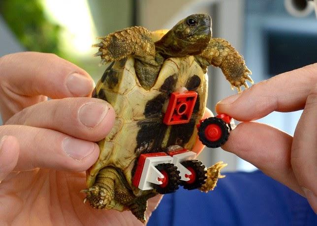 Tartaruga com rodas adaptadas