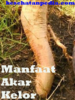 Manfaat Akar Kelor