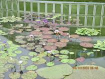 Lily Pond, Kyoto Botanical Gardens, Kyoto, Japan