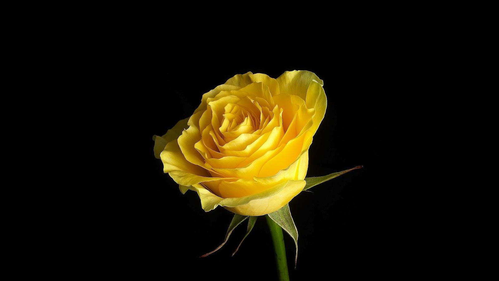 donkere hd afbeelding met gele roos zonder doorns