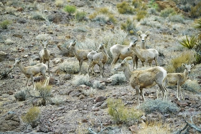 Desert Bighorn Sheep_4417