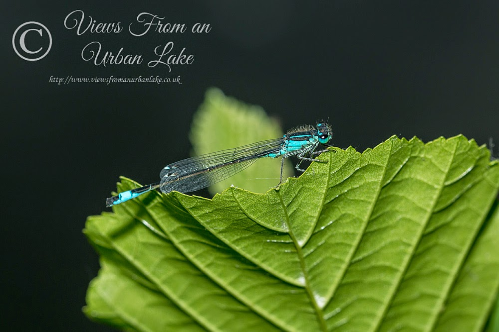 Blue-Tailed Damselfly - Lodge Lake, Milton Keynes