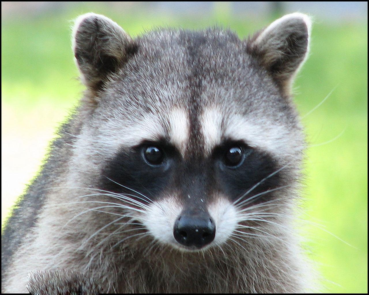 Best Jungle Life Raccoon Amp Raccoon Pics And Raccoon