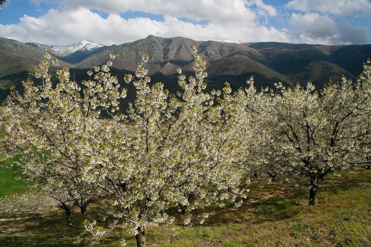 Primavera y Cerezo en Flor 2014 Valle del Jerte