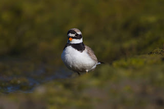 Ringed Plover by Edmund Fellowes