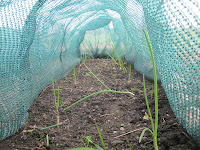 St Ives Allotment - Onions