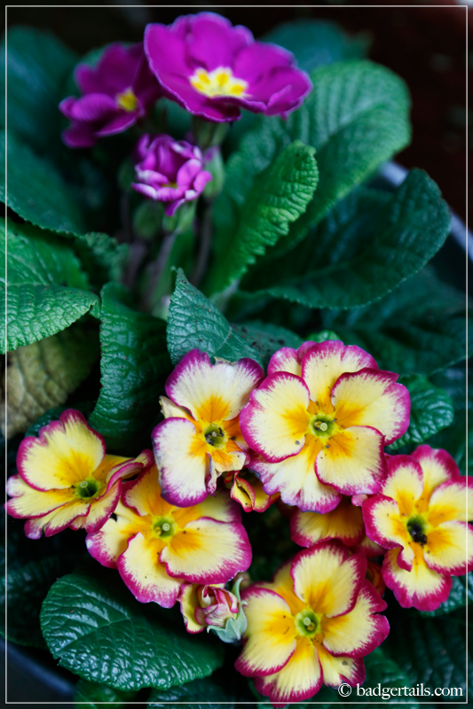 Yellow and Pink Primroses