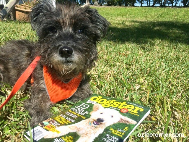 Oz the Terrier with the premier issue of Dogster Magazine