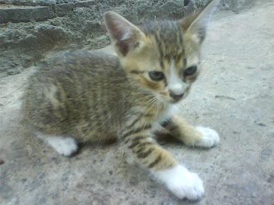 foto kucing kampung lucu 03