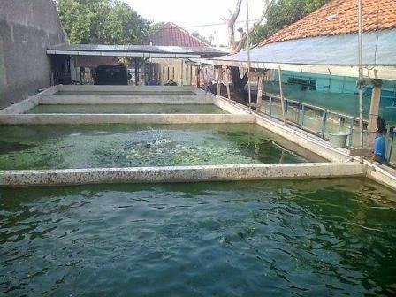 kolam induk lele