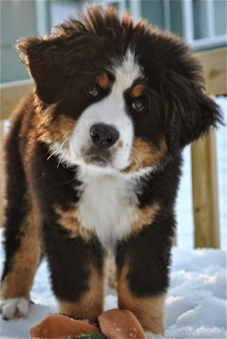 See more Bernese Mountain Dog puppy. http://cutepuppyanddog.blogspot.com/