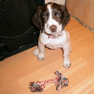 Cute springer spaniel puppy with toy training