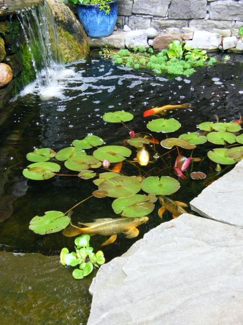 Jim the fishman 5 fantastic koi pond photos for Ornamental pond fish golden