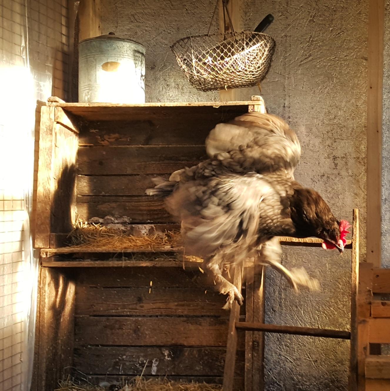 The Case Against Adding Supplemental Winter Chicken Coop Light ...