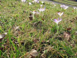 garten anders wie bekomme ich eine wildkrokus. Black Bedroom Furniture Sets. Home Design Ideas