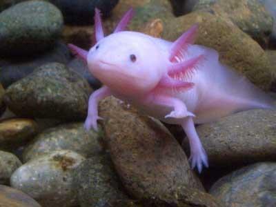 fish with hands- السمكة التي لها أرجل و أيدي -الأكسولوتل أو السمندل أو عفريت الماء-  Axolotl