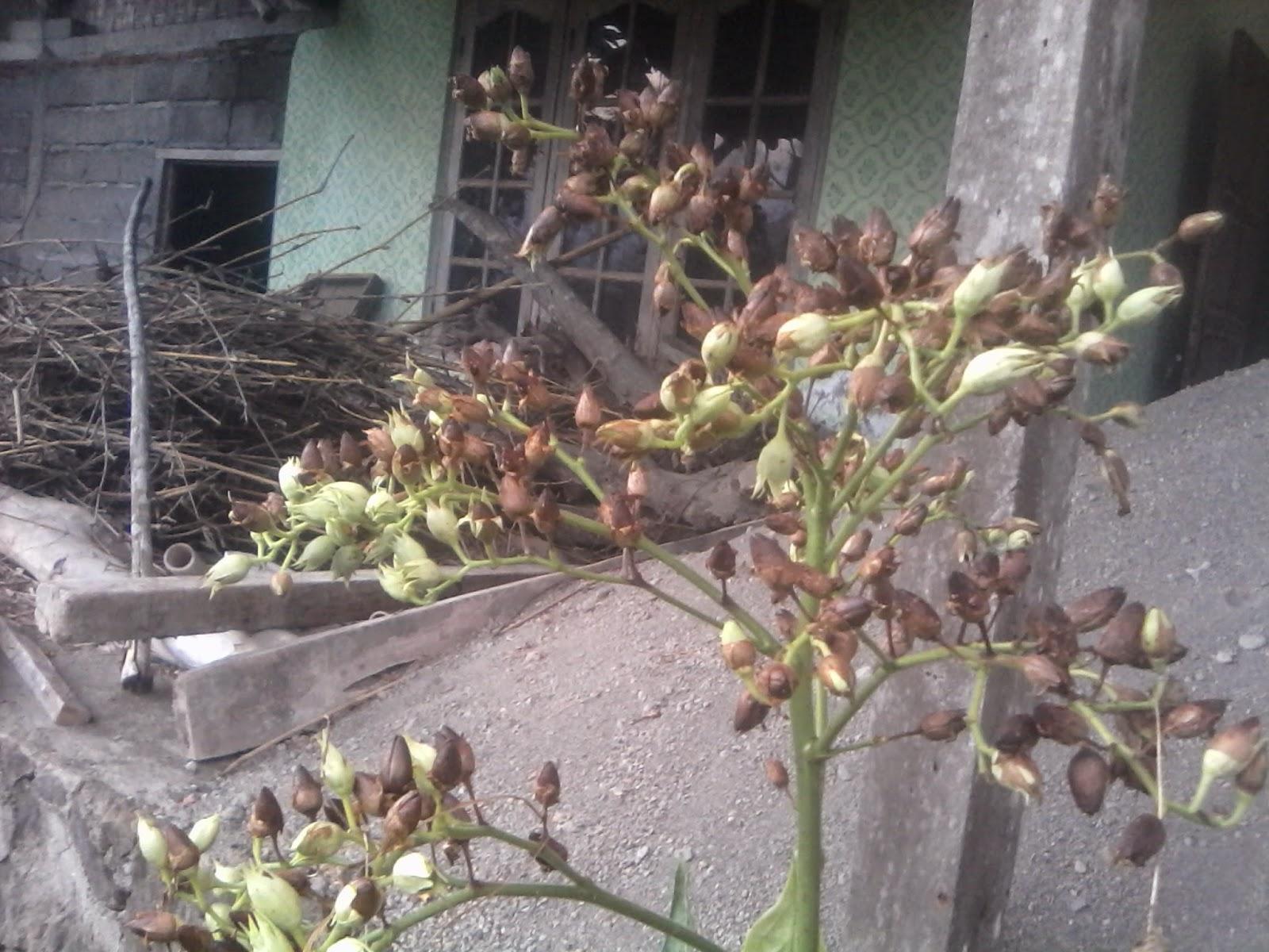 calon biji tanaman tembakau