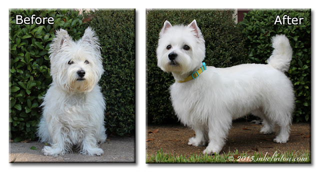 Before and after grooming photos of Pierre the Westie