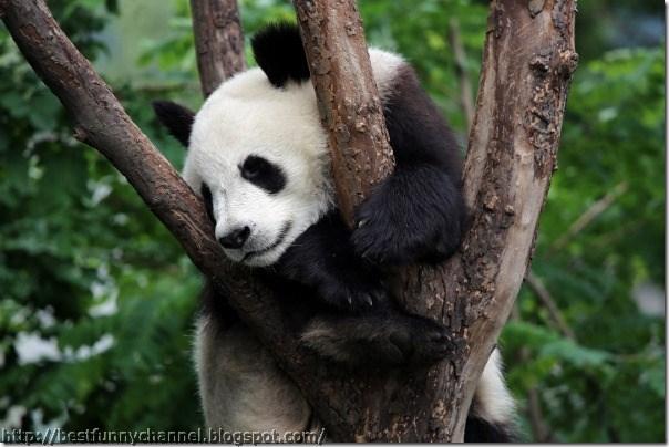 panda bears pictures 15
