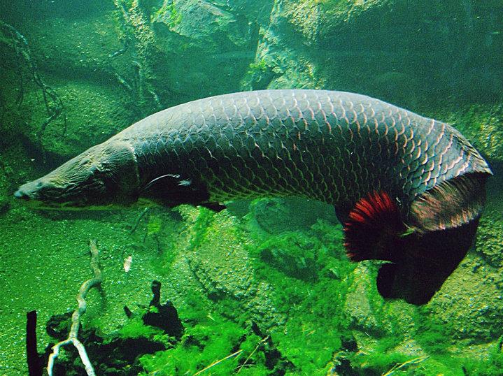 Ikan Naga Terbesar