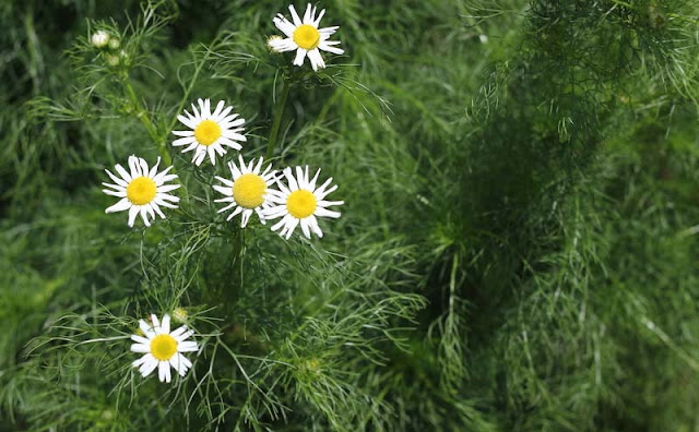 Mayweed Flowers Pictures