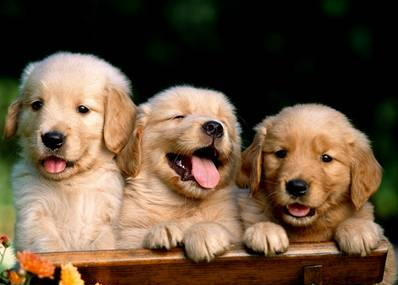 American Golden Retriever puppies