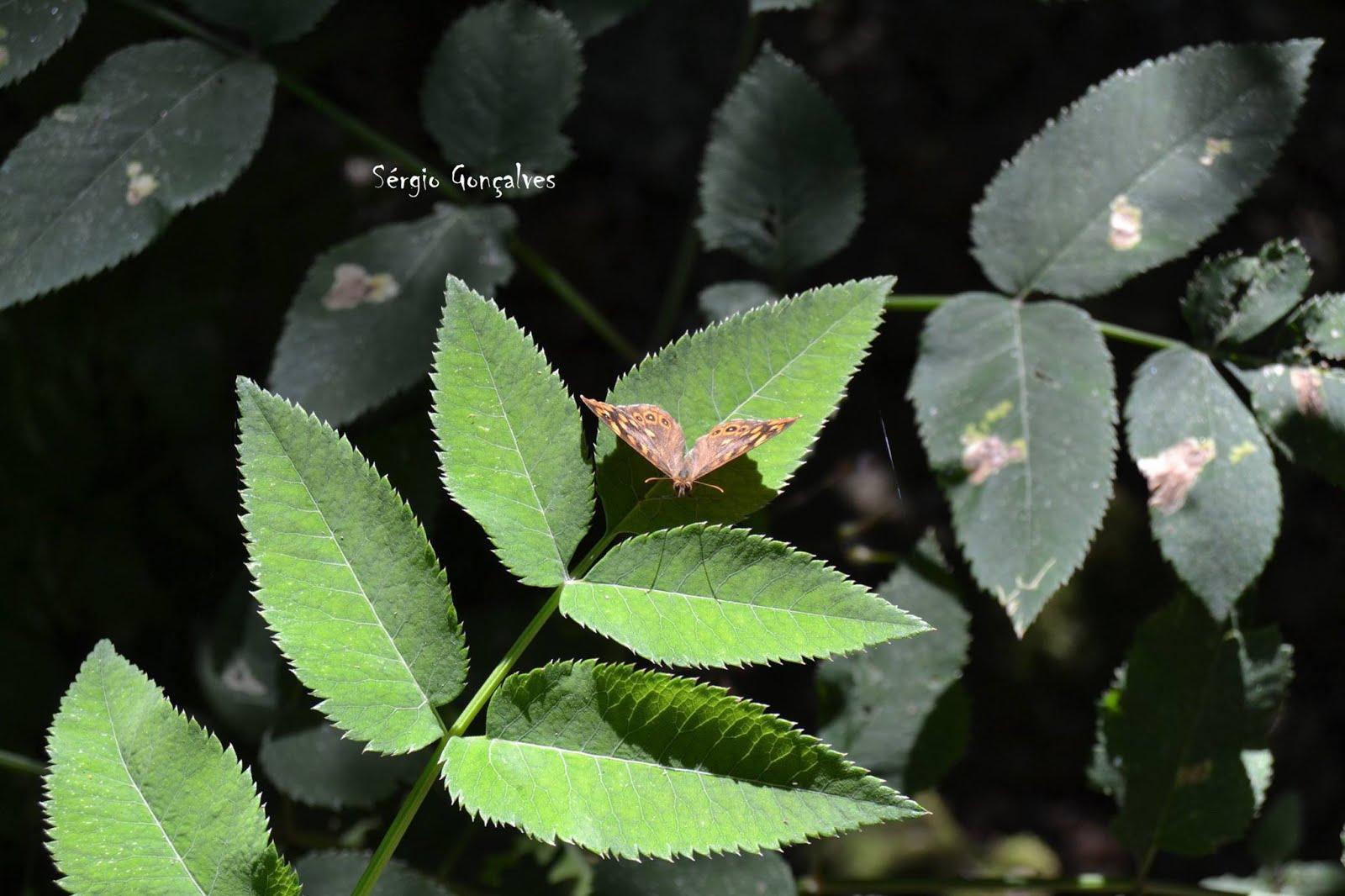 A Pararge aegeria é uma borboleta